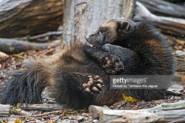 Grooming wolverine
