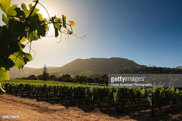 groot constantia vineyards - constantia stock pictures, royalty-free photos & images
