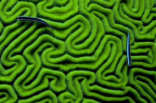 Grooved Brain Coral - gettyimageskorea