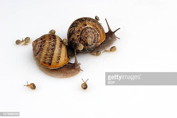 Gros Gris Snail