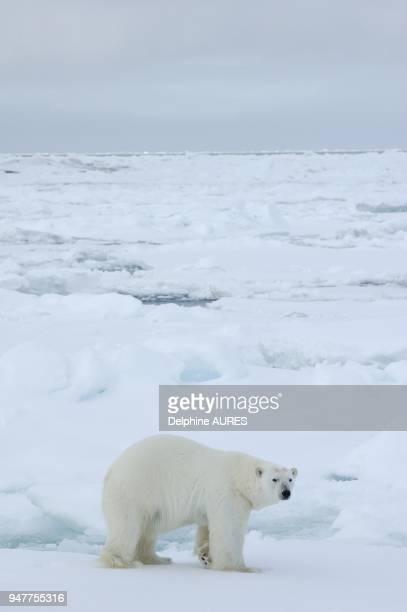 Gros ours mâle