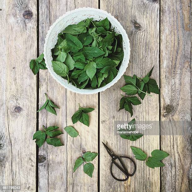 Ground elder leaves in bowl with scissors