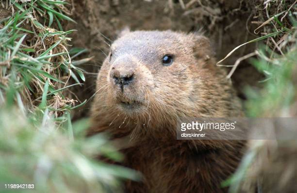 ground hog - woodchuck stock pictures, royalty-free photos & images