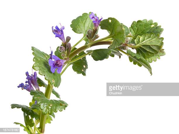 ground ivy - catmint stock pictures, royalty-free photos & images