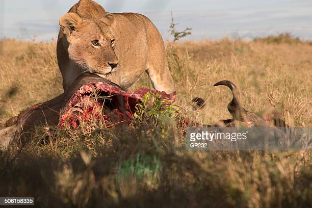 Ground level view of lioness kill