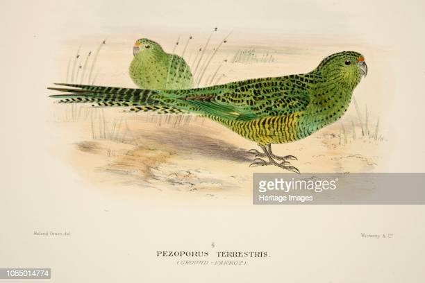 Ground Parrot from The Birds of Australia pub 1916 Pezoporus Terrestris Artist Roland Green