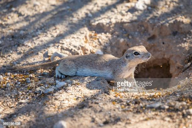 Ground Squirrel (Xerina sp.) in front of hole, Arizona, USA