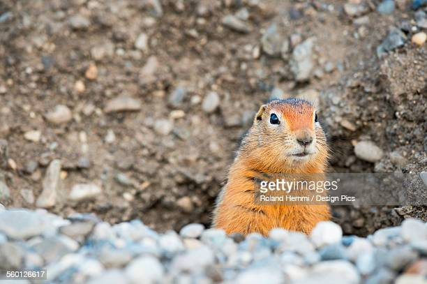 Ground squirrel (Urocitellus parryii) looking out of his hole