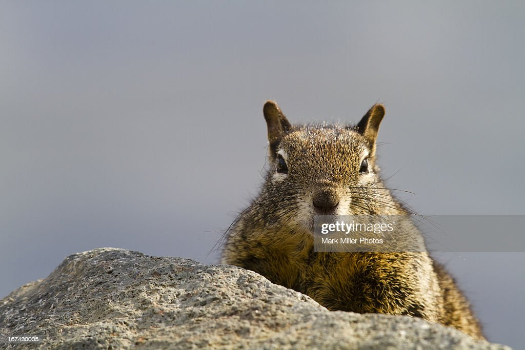 Ground Squirrel on Rocks : Foto de stock