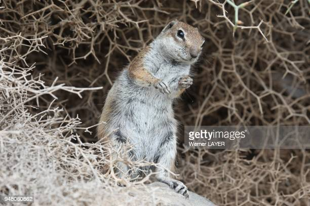 Ground squirrel on the rock