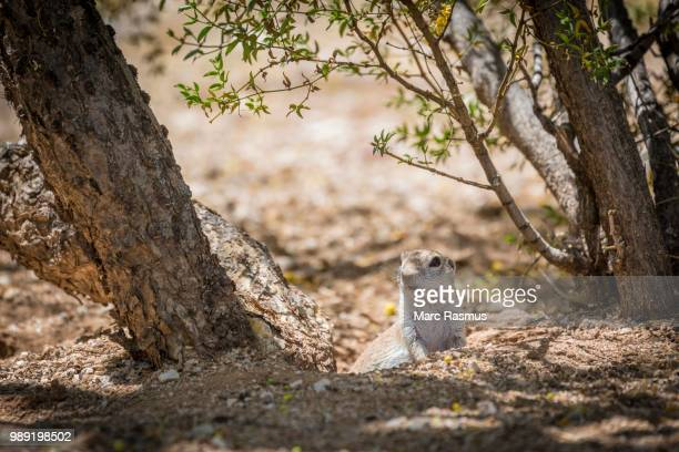 Ground Squirrel (Xerina sp.) peeping out from hole in the ground, Arizona, USA