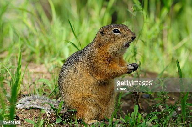 Prairie Dog Stock Photos And Pictures Getty Images