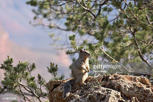 A ground squirrel sits on a boulder on the South Rim of the Grand Canyon in Grand Canyon National Park in Grand Canyon Arizona US on Thursday June 25...
