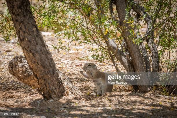 Ground Squirrel (Xerina sp.) sitting in front of burrow, feeding, Arizona, USA
