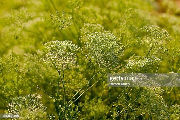 Ground-elder, herb gerard, bishop's weed or goutweed (Aegopodium podagraria)