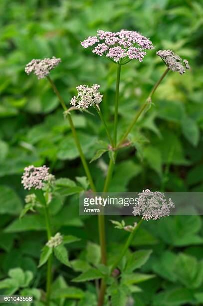 Groundelder in flower