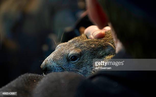 Groundhog handler Ron Ploucha holds Punxsutawney Phil after he saw his shadow predicting six more weeks of winter during 128th annual Groundhog Day...