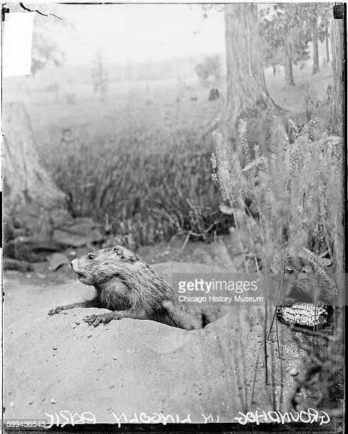 Groundhog looking out of a hole at the Lincoln Park Zoo Chicago Illinois 1920s From the Chicago Daily News negatives collection
