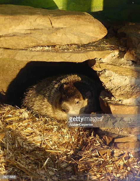 Groundhog peaks out from his man-made den at the Groundhog Zoo in Barley Park on the eve of Groundhog Day on February 1, 2004 in Punxsutawney,...