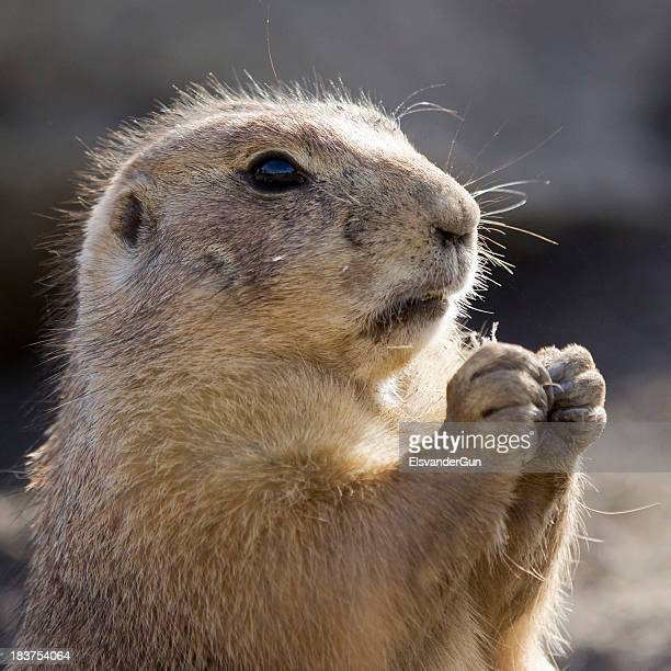 groundhog - woodchuck stock pictures, royalty-free photos & images
