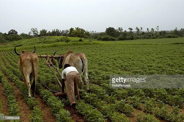 Groundnut fields in Gujarat India