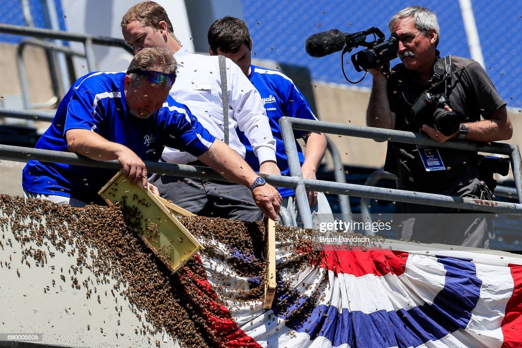 Grounds crew member Jeff Diekman removes a swarm of bees as Kansas City Star staff photographer, John Sleezer (right), records video before the game between the Cleveland Indians and the Kansas City Royals at Kauffman Stadium on May 7, 2017 in Kansas City, Missouri.