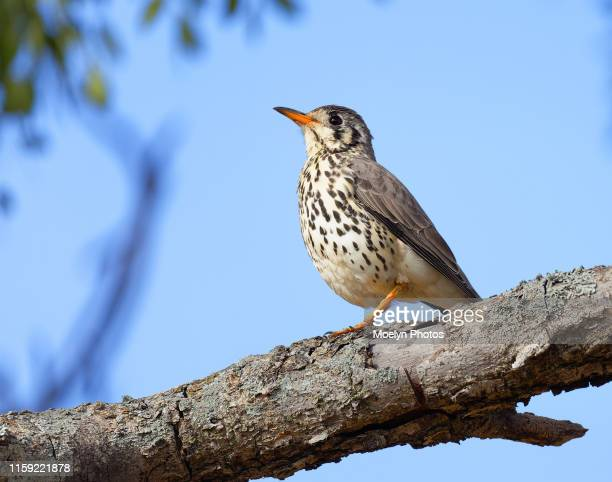 groundscraper thrush close-up - thrush stock pictures, royalty-free photos & images