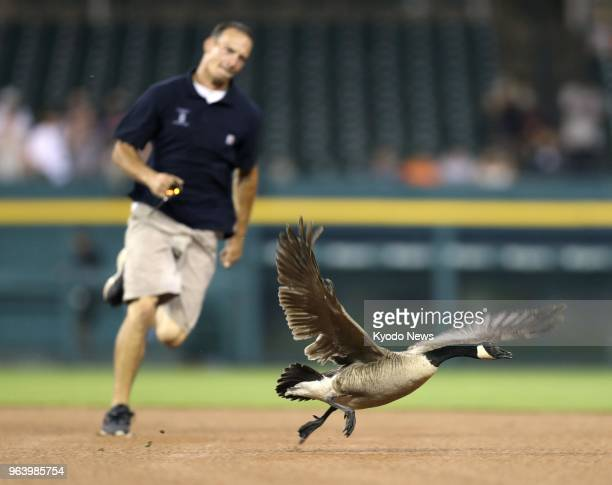 A groundsman chases a goose on the field during a rain delay in the sixth inning of the Detroit Tigers' 61 win over the Los Angeles Angels at...