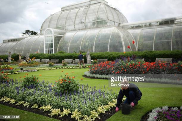 A groundsperson tends to flowers at Kew Gardens on July 20 2017 in London England