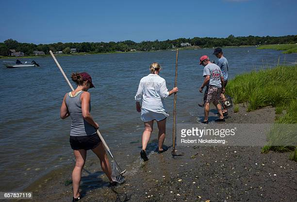 A group begins clamming at low tide in Town Cove of Orleans Massachusetts on July 14 2012 Quahogs are the predominant mollusk found in the coves...