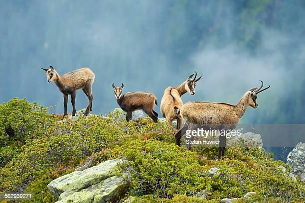 Group chamois -Rupicapra rupicapra- with pups, Bernese Oberland, Switzerland