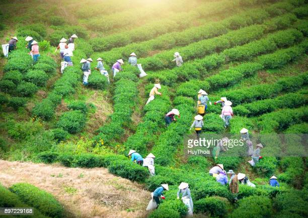 group farmers in labor costume, conical hats harvesting tea in the morning - flowering plant stock pictures, royalty-free photos & images