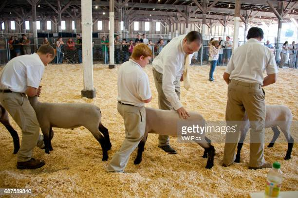 Group of 4H youth standing in a row inside a pen and judge inspecting their Suffolk sheep at the Maryland State Fair