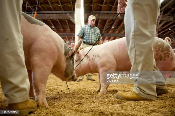 Group of 4H youth standing in a row inside a pen and judge inspecting their pigs at the Maryland State Fair