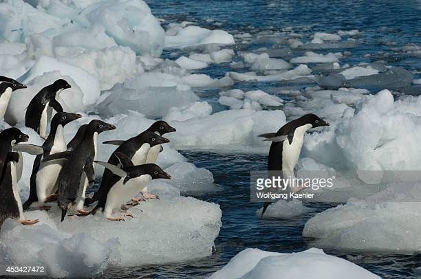 A group of Adelie penguins jumping from ice pebble to ice pebble on a beach of Paulet Island on the tip of the Antarctic Peninsula