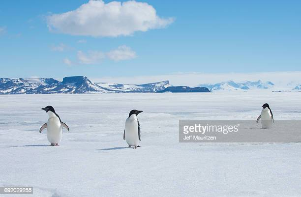 a group of adelie penguins, pygoscelis adeliae, walk along the sea ice off the antarctic peninsula. - 南極海峡 ストックフォトと画像