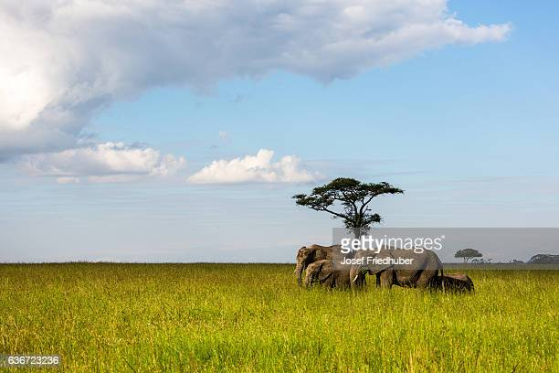 Group of African elephants grazing in the Serengeti