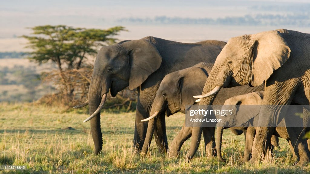 Gruppo di elefanti africani allo stato brado : Foto stock