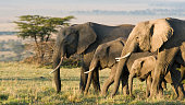 Group of African elephants in the wild