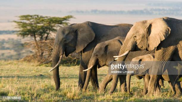 group of african elephants in the wild - herbivorous stock pictures, royalty-free photos & images