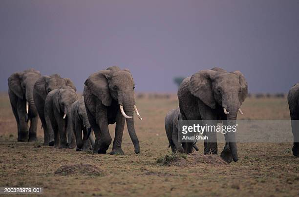 Group of African elephants (Loxodonta africana) migrating, Kenya