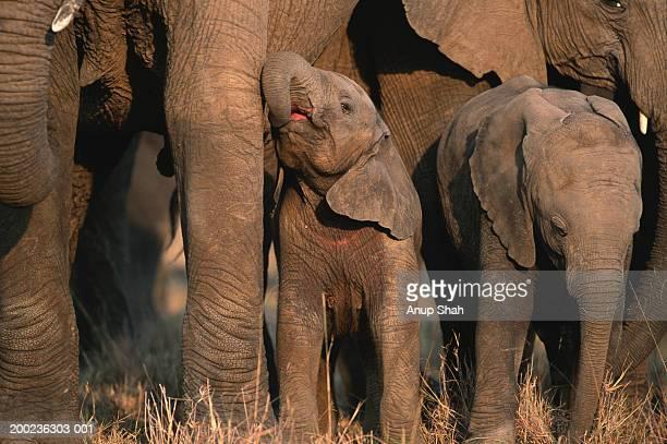 Group of African elephants (Loxodonta africana) standing, Masai Mara N.R, Kenya