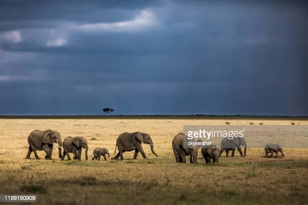 groep afrikaanse olifanten wandelen in het wild. - olifant stockfoto's en -beelden