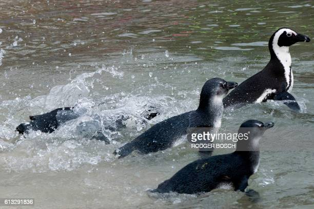 A group of African Penguins swim in the sea after being released on October 8 in Simonstown about 30Km from the centre of Cape Town These penguins...
