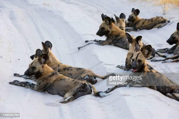 group of african wild dogs (lycaon pictus), savuti, chobe national park, botswana, africa - asiatische wildkatze stock-fotos und bilder