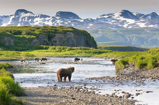 Group of Alaska Brown Bears Fishing Salmon at McNeil River 499171624