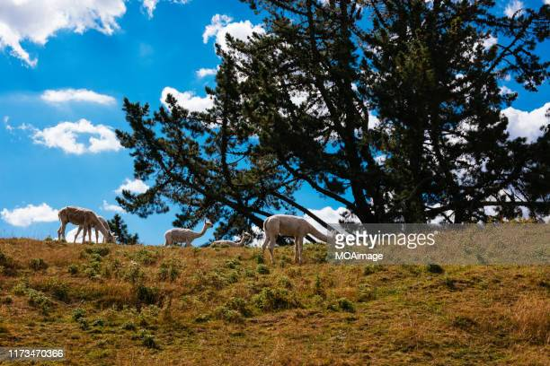 a group of alpacas,rotorua,new zealand - north island new zealand stock pictures, royalty-free photos & images
