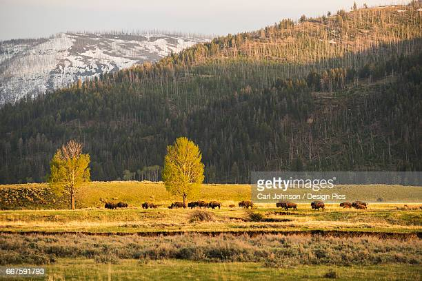 A group of American bison (bison bison) pass by in the Lamar Valley in Yellowstone National Park