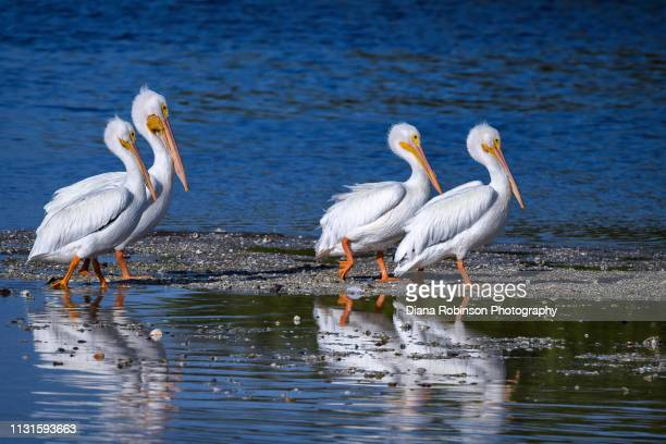 Group of American White Pelican at J.N. 'Ding' Darling National Wildlife Refuge, Sanibel Island, Florida
