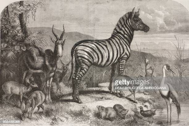 Group of animals lately received at the gardens of the Zoological Society Regent's Park London illustration from the magazine The Illustrated London...
